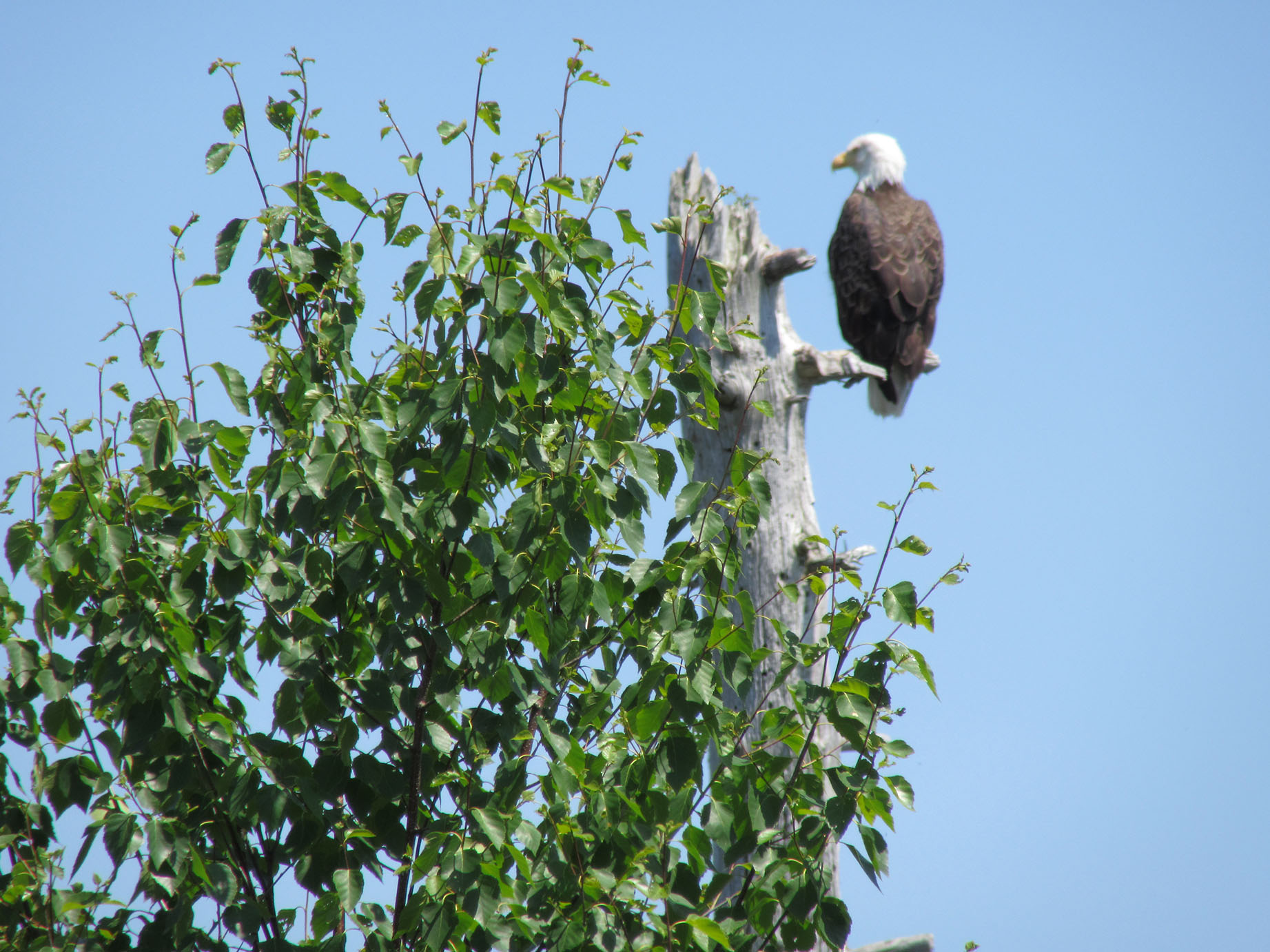Eagle Oversees Sawmill Landing